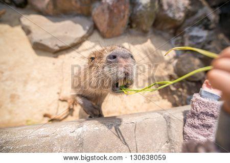 Capybara reaching to food at a zoo