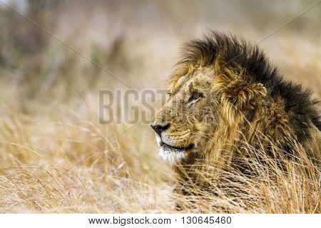 Specie Panthera leo family of felidae, portrait of an african lion in kruger park, South Africa