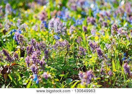 Field Of Blue (scilla Sibirica) And Violet (hollowroot, Corydalis Cava) Spring Flowers.