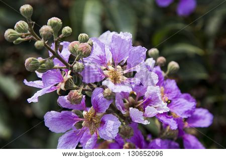 Lagerstroemia flowers with green leaves background under sunlight