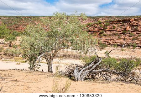 Native flora and tumblagooda sandstone cliffs in the valley of the Murchison River gorge in Kalbarri National Park with native plants under a blue sky with clouds in Western Australia.