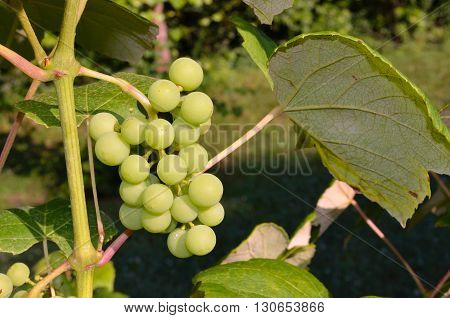 Green organic homegrown grapes growing on the vine