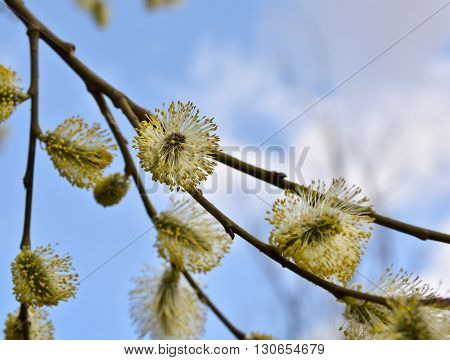 Spring flowering willow. Blooming willow in late April.