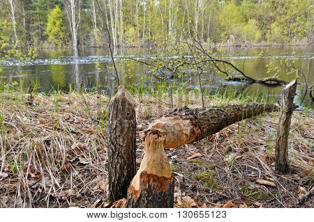 Wood dumped the beavers. The beavers piled up a tree in a national Park.
