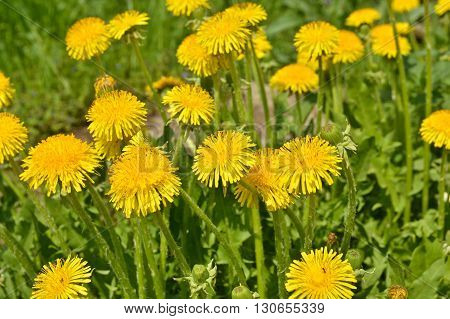 Blooming yellow dandelions in the spring meadow. Bright flowers dandelions on background of green meadows.