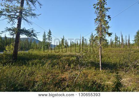 Mountain taiga on the Putorana plateau. Summer landscape of the Siberian taiga in the vicinity of the Taimyr Peninsula.