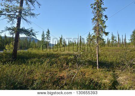 Mountain taiga on the Putorana plateau. Summer landscape of the Siberian taiga in the vicinity of the Taimyr Peninsula.