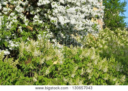 Blossoming apple tree and white lilac bush.