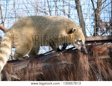 the big South American coati (Nasua nasua)