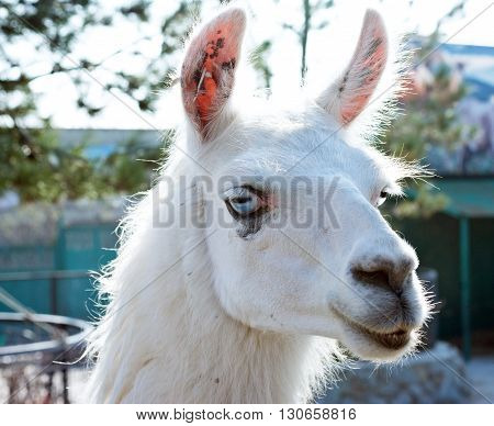 The big Beautifu white lama portrait in zoo