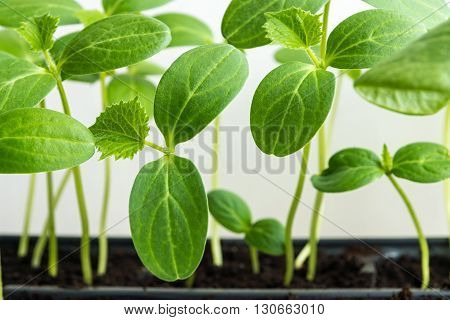 green shoots of a young plant of an agriculture with big leaves closeup