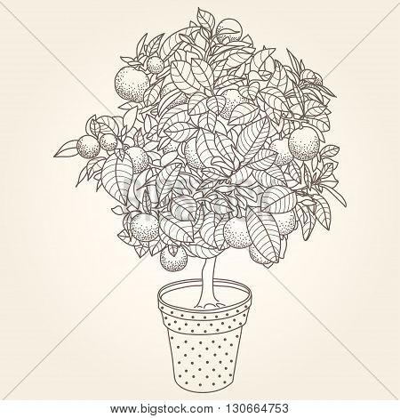 Citrus Tangerine, Orange Or Lemon Citrus Tree In A Pot