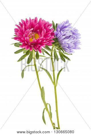 color, plant aster isolated on white background