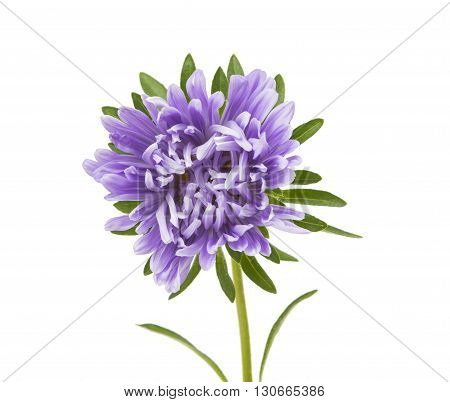 a beauty aster isolated on white background