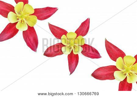 Beautiful red flower Aquilegia isolated on white background