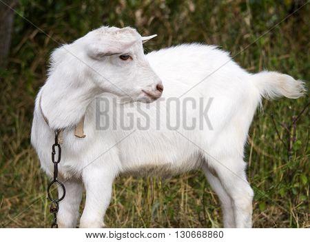 White goat grazes in a meadow, farm,