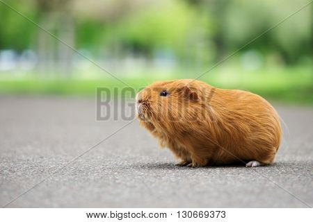 adorable red guinea pig outdoors in summer