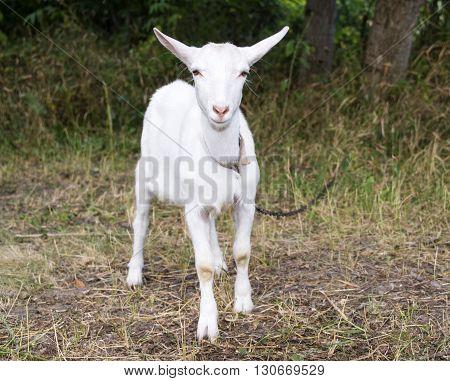 White goat grazes in a meadow farm
