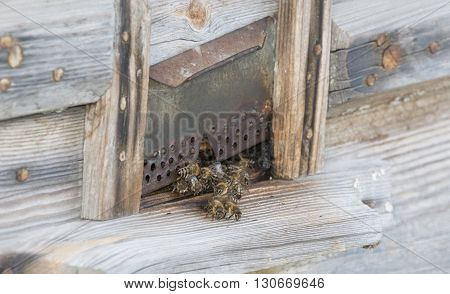 sting, summer hive with bees in the apiary