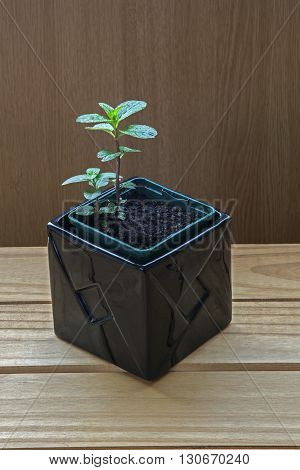 Cuttings / Plants - Chocolate Mint herb in black plant pot, natural ingredients for cooking.