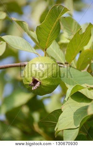 fresh green green guava in fruit garden