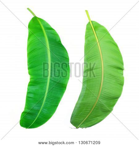 Fresh Banana Leaf Isolated On White with Clipping Path