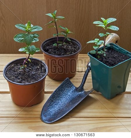 Plant cuttings in plant pots with trowel - chocolate mint herb.