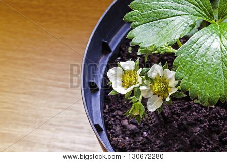 Strawberry plant in pot, strawberries in flower - with text / copy space.