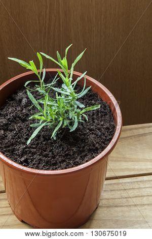 Tarragon herb in plant pot (Artemsia dracunculus).