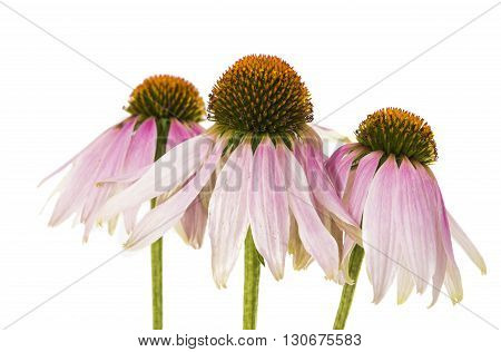 leaf, medical coneflower isolated on white background