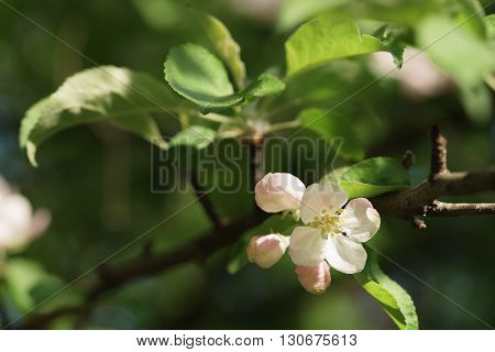 apple light pink flowers in bloom, shallow focus