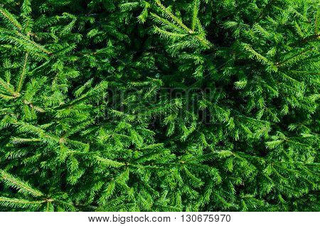 conifer close up on a sunny day