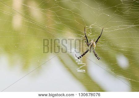 Close up long legs spider on Cobweb