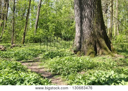 narrow path around the huge fat trunk of and old tree and some green plants in the forest in spring