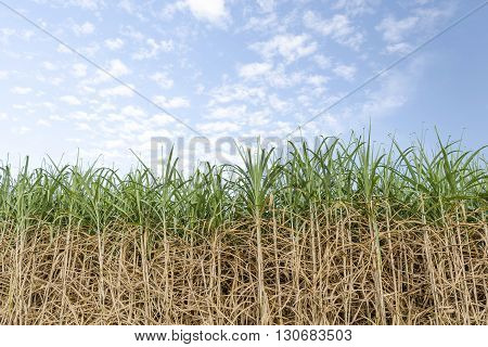 Sugarcane field with blue sky and clouds