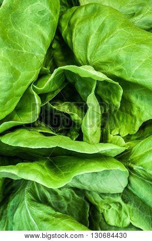 Natural organic fresh lettuce leaves close up