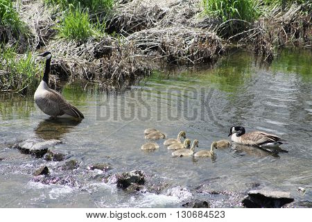 Canada Geese and Goslings swimming in slow moving creek.