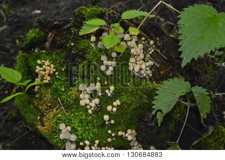 Mushrooms growing on an old tree stump surrounded by moss