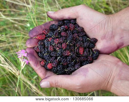 Handful of ripe wild black mulberries on a background of green grass