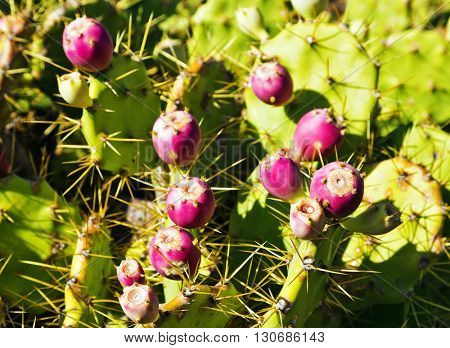 Wild-growing prickly pear cactuses with red fruits