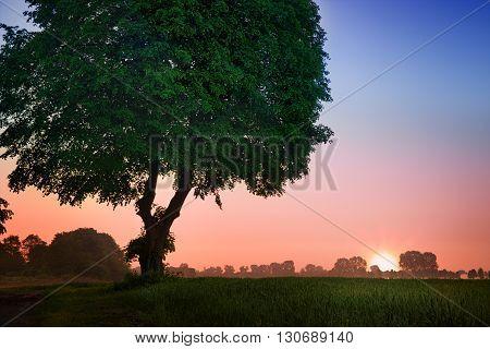 Linden tree in meadow. May sunrise. Masuria Poland.