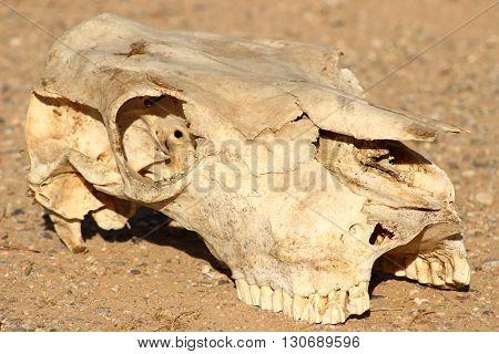 cow skull in the desert 3/4 view