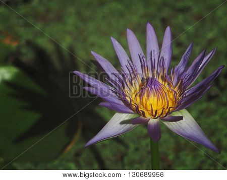 Nature colourful lotus or waterlily with shadow.
