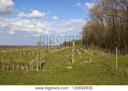 Young Plantation In The Yorkshire Wolds
