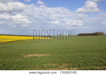 Oilseed Rape And Wheat Crops In The Yorkshire Wolds