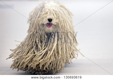 Rasta Poodle White Dog Coming To You