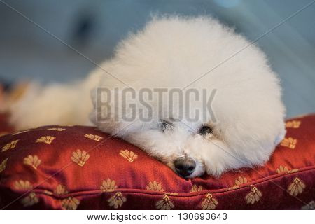 Poodle White Dog Looking At You On A Cushion