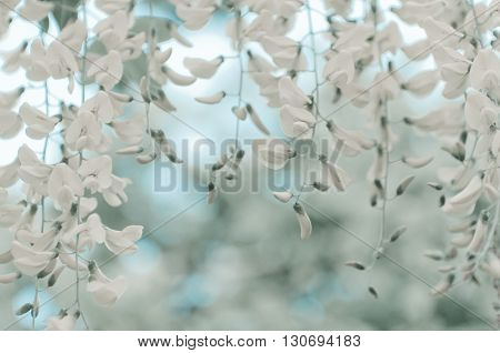 Robinia pseudoacacia tree flowers know as black locust white copy space