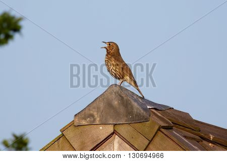 Song Thrush (Turdus philomelos) singing from a shed roof.