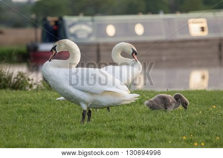 Mute swan (Cygnus olor) family grazing by the river in the evening.